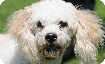 Poodle (Miniature) Dog for adoption in New Haven, Connecticut - MR. CHIPS
