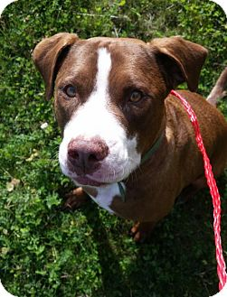 Pit Bull Terrier/Border Collie Mix Dog for adoption in Bellingham, Washington - Bruno