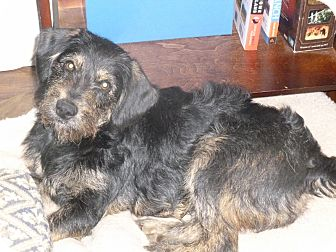 Fox Terrier (Wirehaired)/Terrier (Unknown Type, Medium) Mix Dog for adoption in Cookeville, Tennessee - Sherman