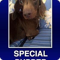 Adopt A Pet :: Fischer - Morrisville, PA