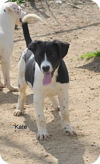 Labrador Retriever Mix Puppy for adoption in East Hartford, Connecticut - Kate meet me 3/27