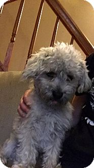 Poodle (Toy or Tea Cup)/Schnauzer (Miniature) Mix Dog for adoption in Lombard, Illinois - Shamus