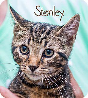 Domestic Shorthair Kitten for adoption in Somerset, Pennsylvania - Stanley