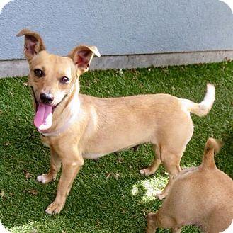 Chihuahua Mix Dog for adoption in Surrey, British Columbia - Adele