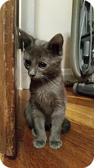 Domestic Shorthair Kitten for adoption in Valley Village, California - Whitney