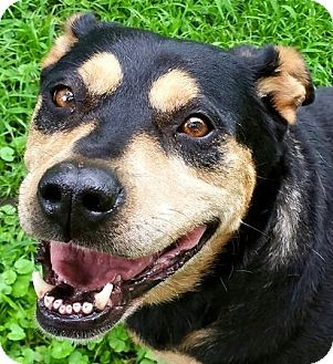 Rottweiler/Shepherd (Unknown Type) Mix Dog for adoption in Kansas City, Missouri - China