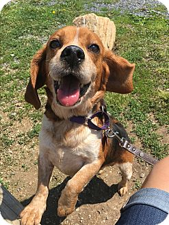 Beagle Mix Dog for adoption in Breinigsville, Pennsylvania - Trance