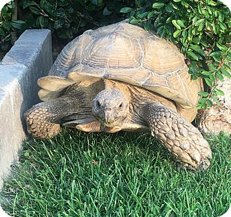 Tortoise for adoption in Montclair, California - Central