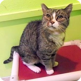 Domestic Shorthair Cat for adoption in Janesville, Wisconsin - Delight