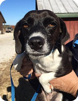 Beagle Mix Dog for adoption in Hagerstown, Maryland - Anna and Elsa (bonded pair)
