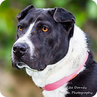 Shar Pei/American Staffordshire Terrier Mix Dog for adoption in Westminster, California - Lizzie