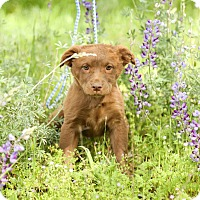 Adopt A Pet :: Daisy - Auburn, CA