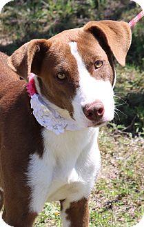 Border Collie/Labrador Retriever Mix Dog for adoption in Pluckemin, New Jersey - Elaine