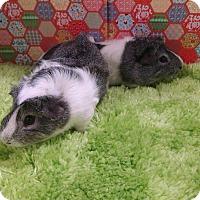 Adopt A Pet :: Jay & Bob the Green Lettuce B - Aurora, CO