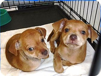 Chihuahua Mix Puppy for adoption in Las Vegas, Nevada - JIffy
