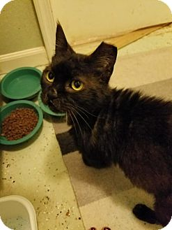 Domestic Shorthair Cat for adoption in Baltimore, Maryland - Toffee