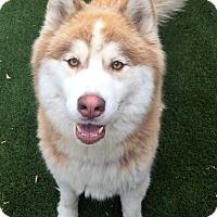 Adopt A Pet :: koda - Chula Vista, CA