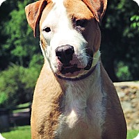 Boxer/Pit Bull Terrier Mix Dog for adoption in Evansville, Indiana - Charley