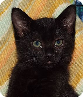Domestic Shorthair Kitten for adoption in Grants Pass, Oregon - Sparrow