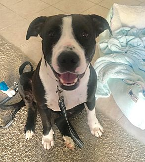 American Pit Bull Terrier Mix Dog for adoption in Los Angeles, California - Minnie