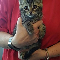 Domestic Shorthair Kitten for adoption in Salamanca, New York - Memphis