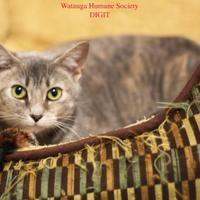 Domestic Shorthair/Domestic Shorthair Mix Cat for adoption in Boone, North Carolina - Digit