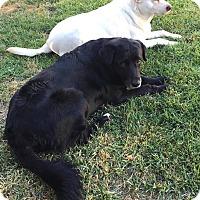Adopt A Pet :: Bella - Petaluma, CA