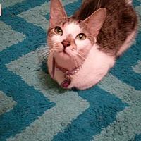 Adopt A Pet :: Callie - Middlebury, CT