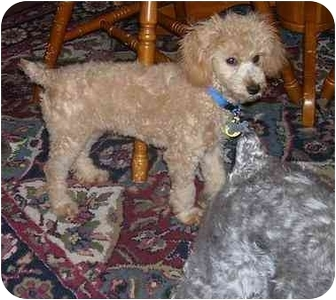 Toy Poodle Puppy for adoption in Evansville, Indiana - Mickey