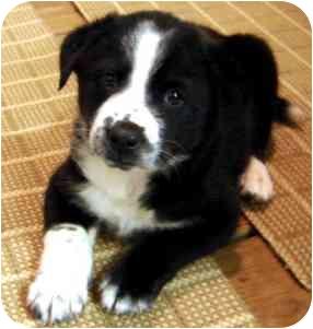 Border Collie/Labrador Retriever Mix Puppy for adoption in Wake Forest, North Carolina - Firecracker
