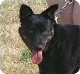 Australian Kelpie/Manchester Terrier Mix Dog for adoption in Kingwood, Texas - Abby Gail Puppy Dog