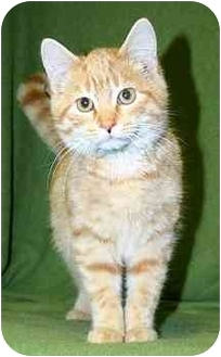 Domestic Shorthair Kitten for adoption in Ladysmith, Wisconsin - Rhett