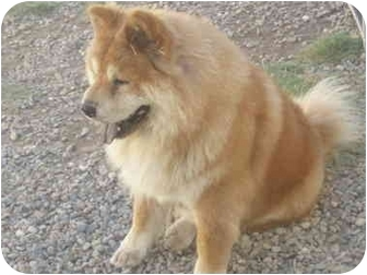 Chow Chow Dog for adoption in Sacramento, California - Ginger