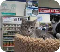 Domestic Shorthair Cat for adoption in Tahlequah, Oklahoma - Ethel
