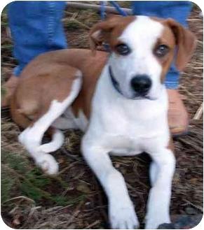 Hound (Unknown Type) Mix Dog for adoption in Harrisburg, Pennsylvania - Opie