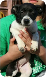 Jack Russell Terrier Puppy for adoption in Staunton, Virginia - Trixy