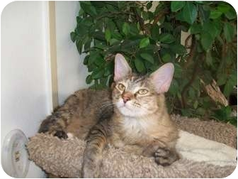 Domestic Mediumhair Cat for adoption in Palm Springs, California - Princess Tiger Lily