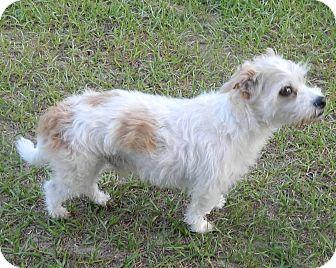 Bichon Frise/Terrier (Unknown Type, Small) Mix Dog for adoption in Umatilla, Florida - Gravy