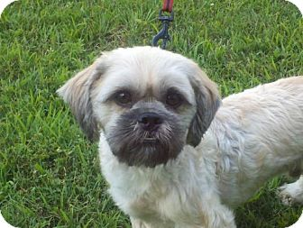 Shih Tzu Dog for adoption in Brattleboro, Vermont - Chewby