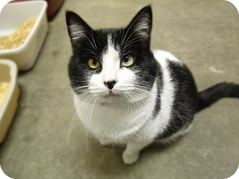 Domestic Shorthair Cat for adoption in Springfield, Illinois - Domino