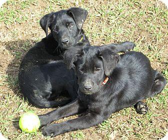Labrador Retriever Mix Puppy for adoption in Starkville, Mississippi - Elvis