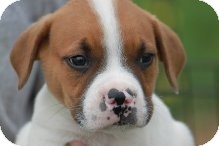 Boxer Mix Puppy for adoption in Russellville, Kentucky - Clay