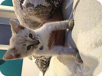Siamese Kitten for adoption in Santa Monica, California - Chester