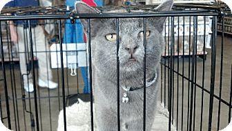 Domestic Shorthair Cat for adoption in Dublin, Georgia - Wimpy