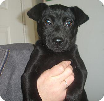 Labrador Retriever Mix Puppy for adoption in Old Bridge, New Jersey - Onyx