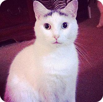 American Shorthair Cat for adoption in Tampa, Florida - Sookie