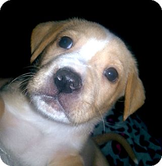 Labrador Retriever/Pit Bull Terrier Mix Puppy for adoption in Cincinnati, Ohio - Puff