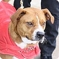 Adopt A Pet :: Steve - North Wales, PA