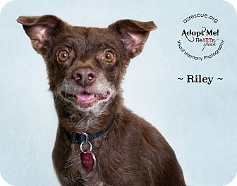 Terrier (Unknown Type, Small) Mix Dog for adoption in Phoenix, Arizona - Riley