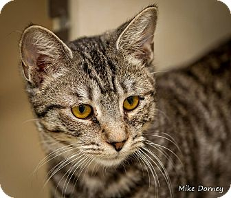 Domestic Shorthair Cat for adoption in Westminster, California - Roz